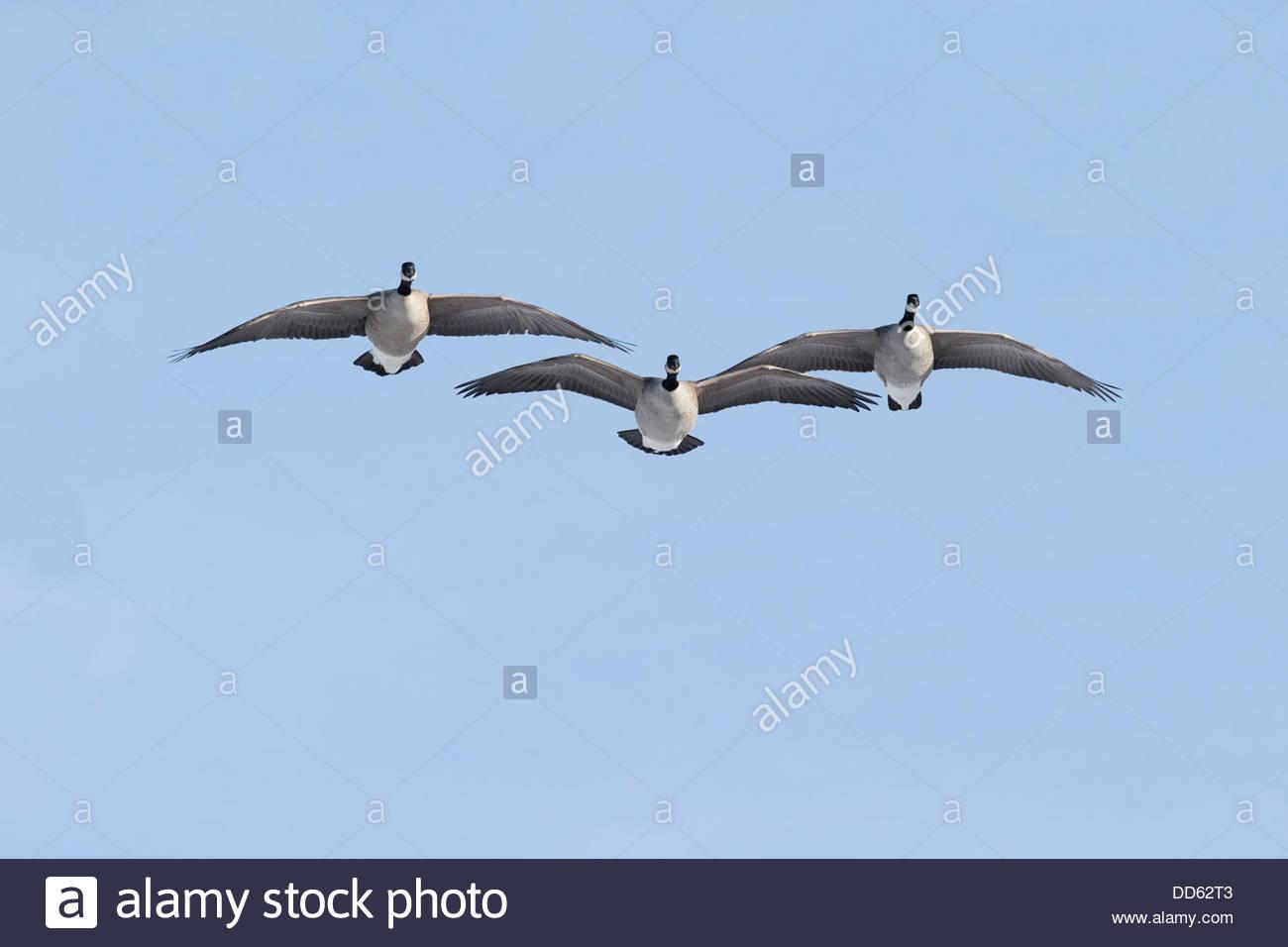 Canada Goose; Branta canadensis - Stock Image