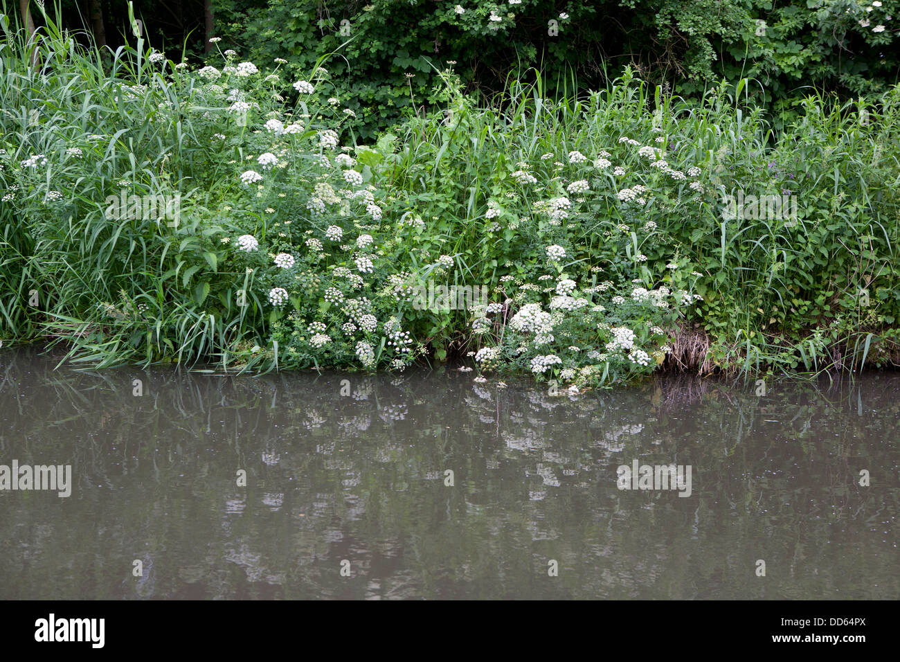 Cow parsley and other vegetation at the edge of a Canal, the plants are reflected in the water. - Stock Image