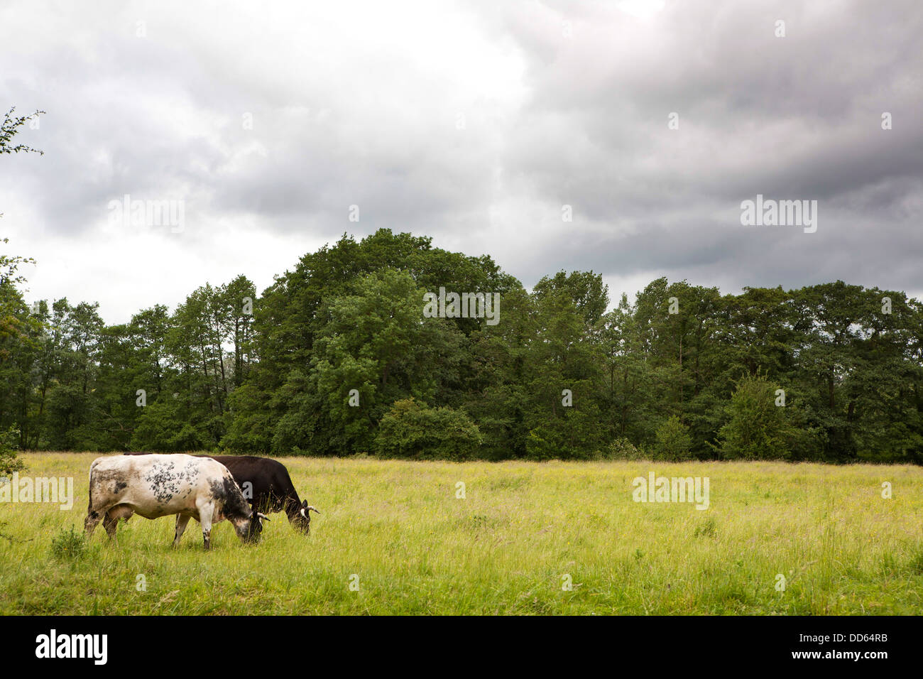 Two Heffer cows grazing/eating grass in an English meadow. Storm clouds gather above the tree line. - Stock Image