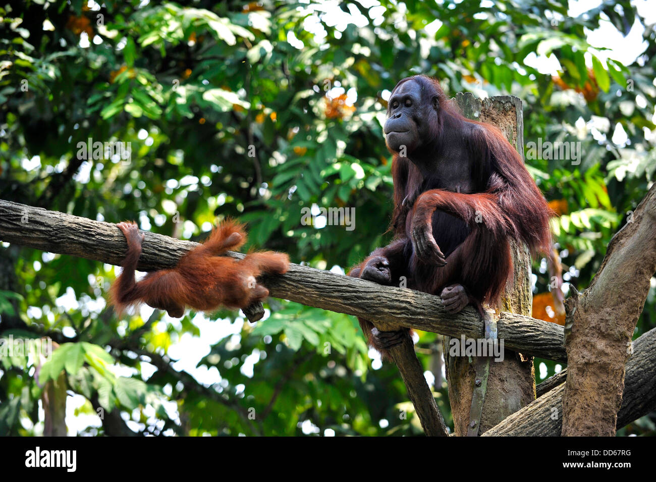 Asia Singapore An Bornean orangutan  and puppy  at Singapore Zoo - Stock Image