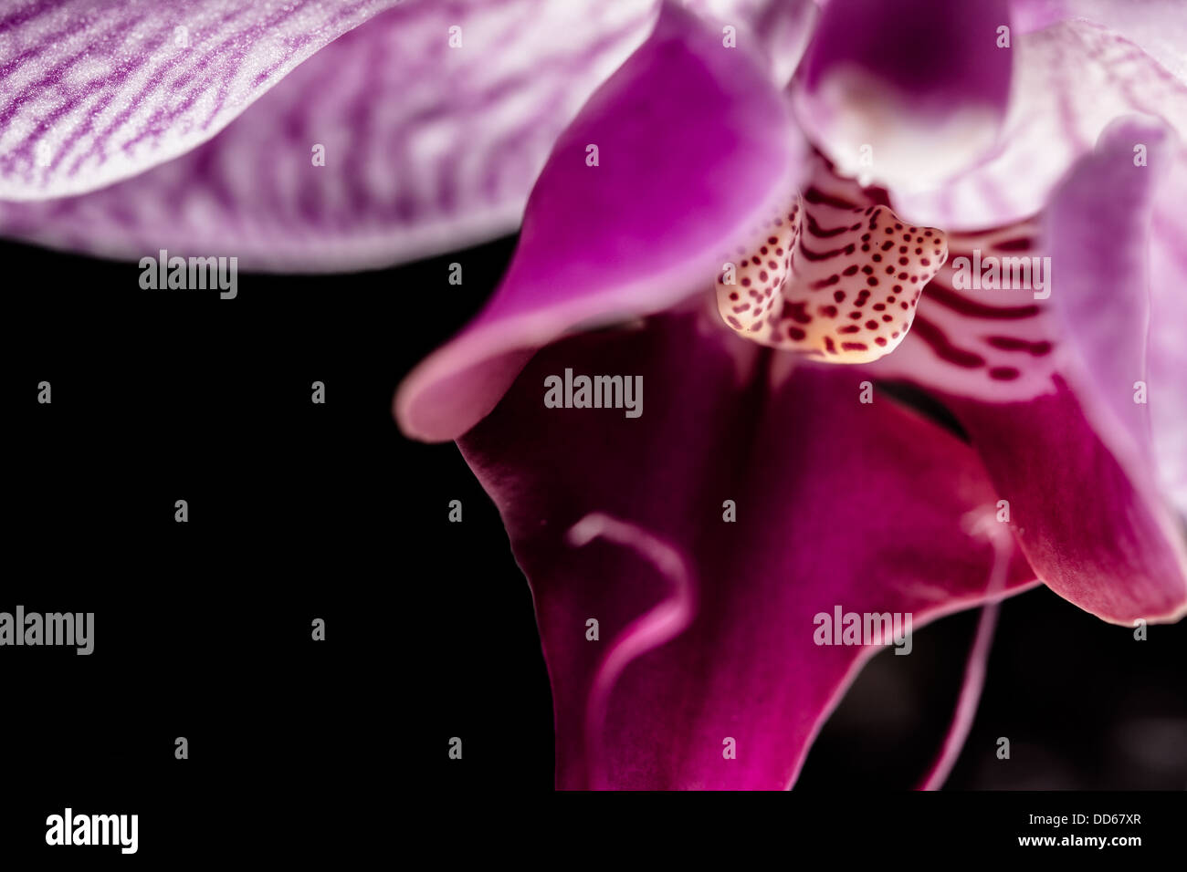 Macro of an Orchid - Stock Image