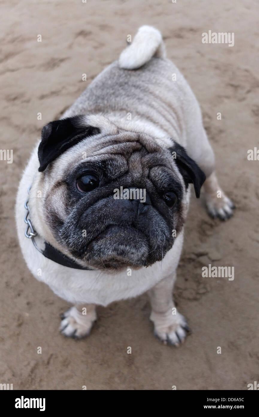 Pug Mops dog - Stock Image