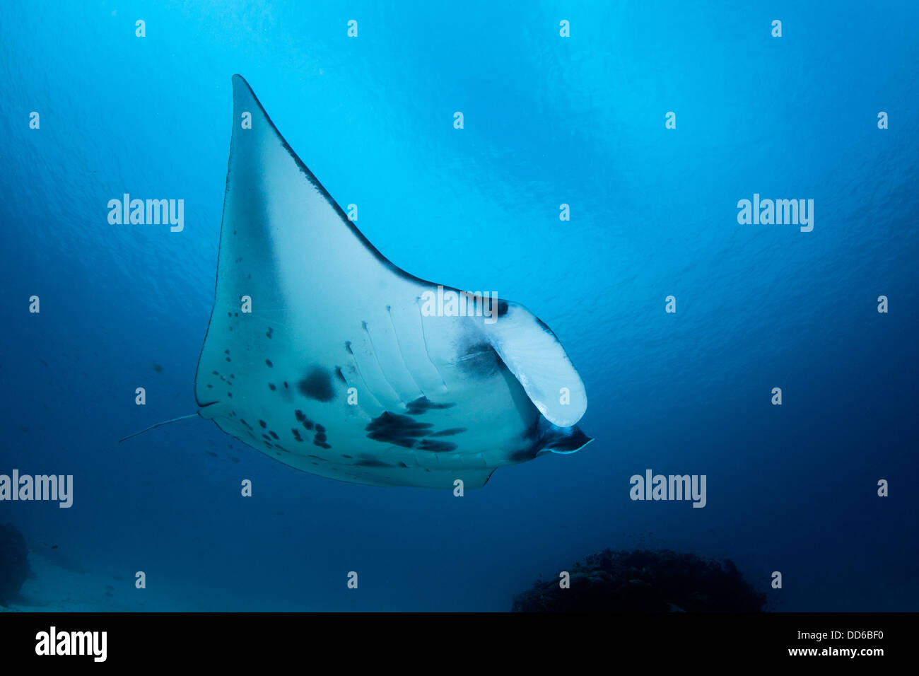 Manta ray close-focus wide-angle image with blue water background. - Stock Image