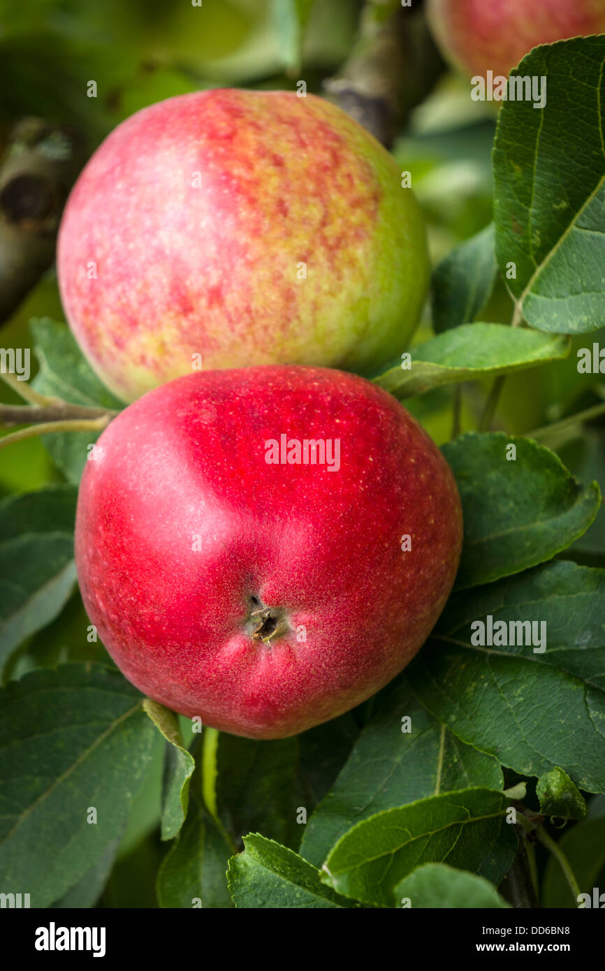 Fresh Red English Apples - Stock Image