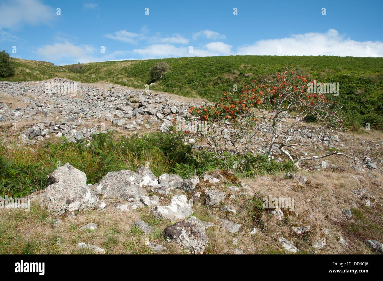 Rowan in rock spoil heap on bank of upper reaches of River Erme, view towards Stalldown - Stock Image
