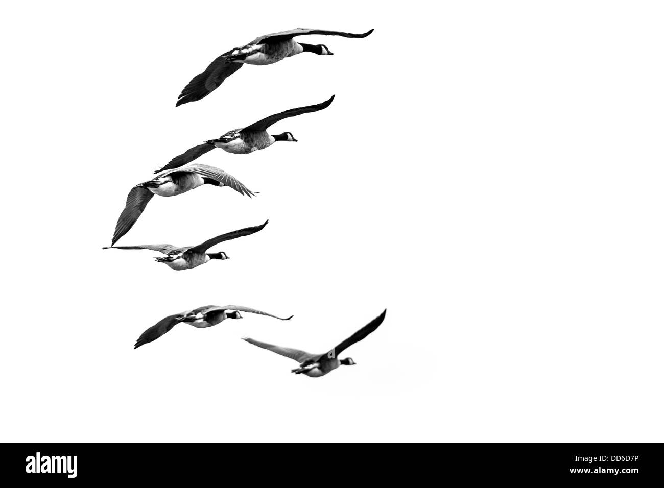 Wild Geese Skein - Stock Image