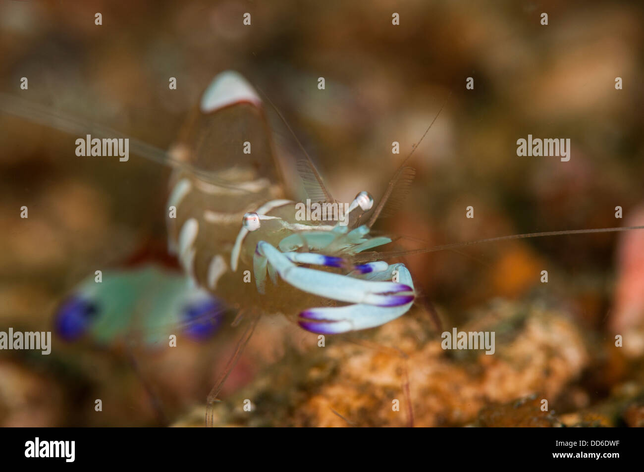Periclemenes magnificus commensal shrimp relaxes in the Lembeh Straits of Indonesia - Stock Image
