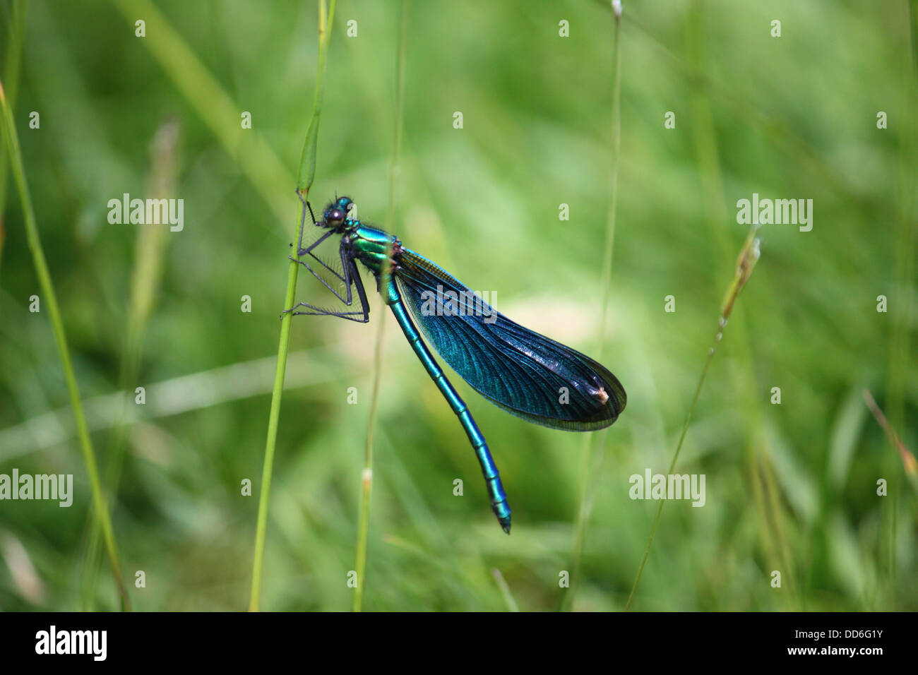 beautiful petrol blue green dragonfly on a blade of grass - Stock Image