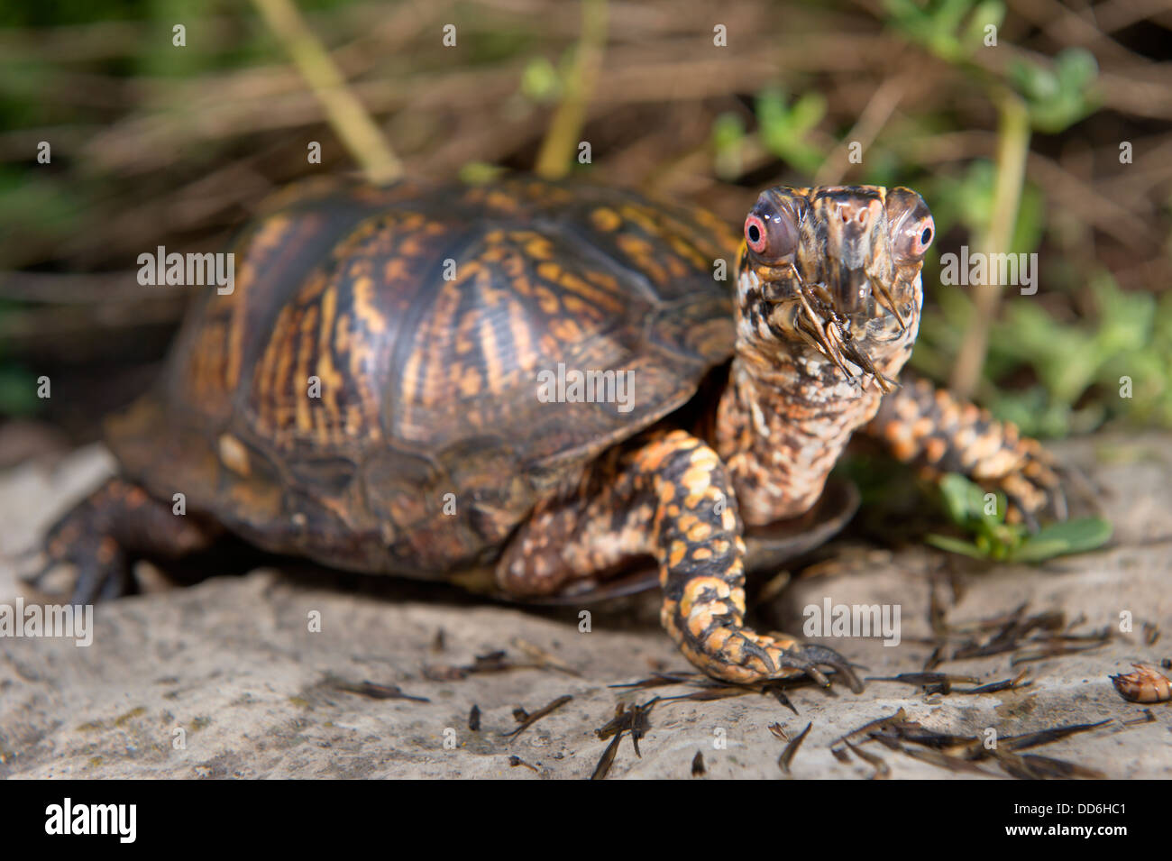 Full shot of a brown spotted  box turtle sitting on a rock looking at the camera. - Stock Image
