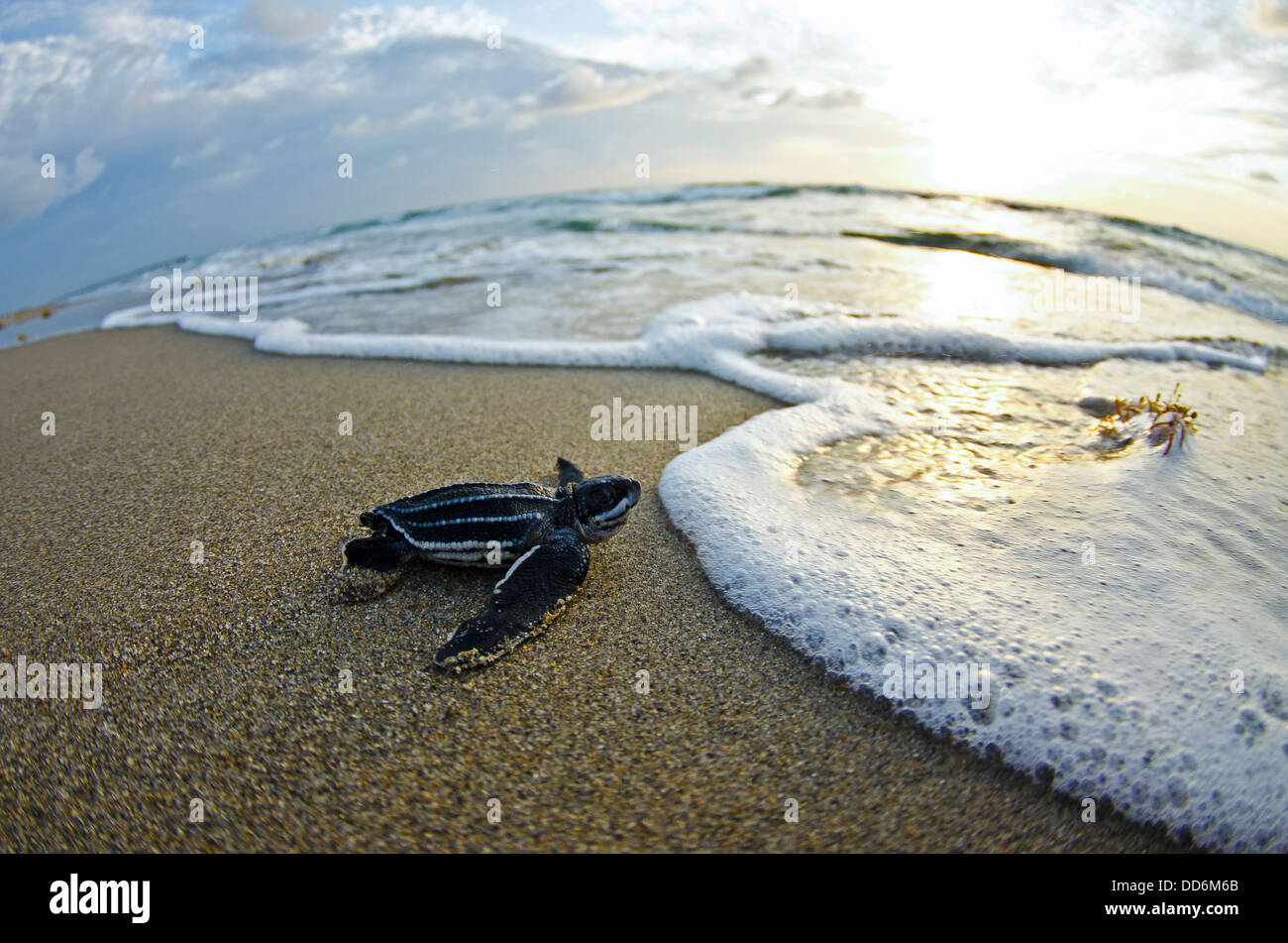 This is a photo of a leatherback sea turtle hatchling making its way out into the ocean one morning on Juno Beach - Stock Image