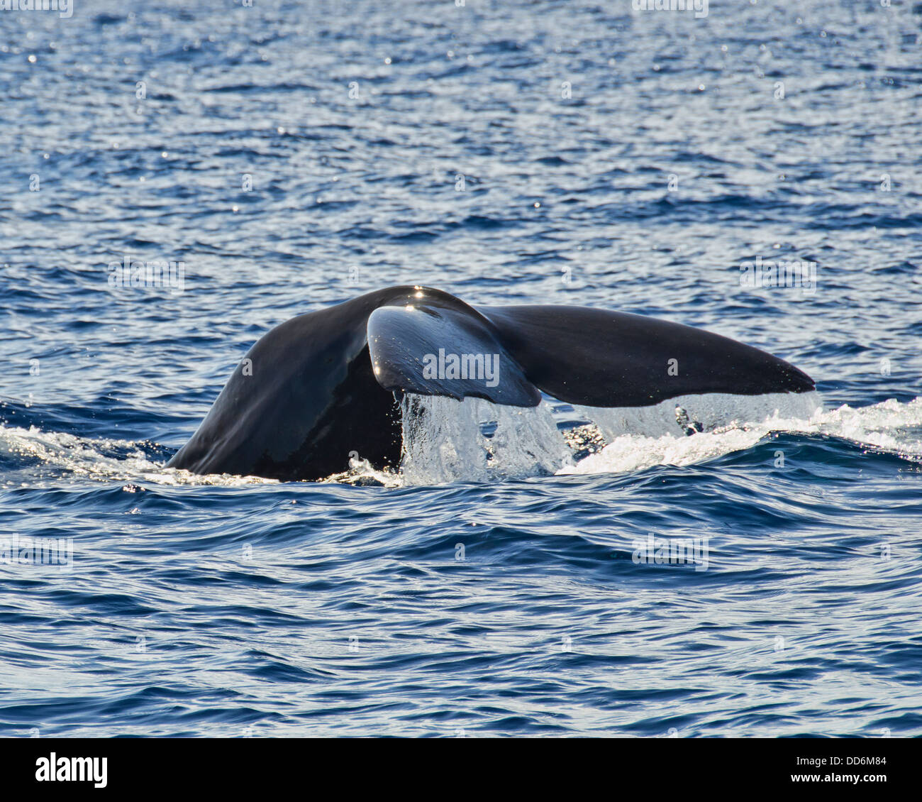 this is a shot of a sperm whale making a deep dive to hunt - Stock Image