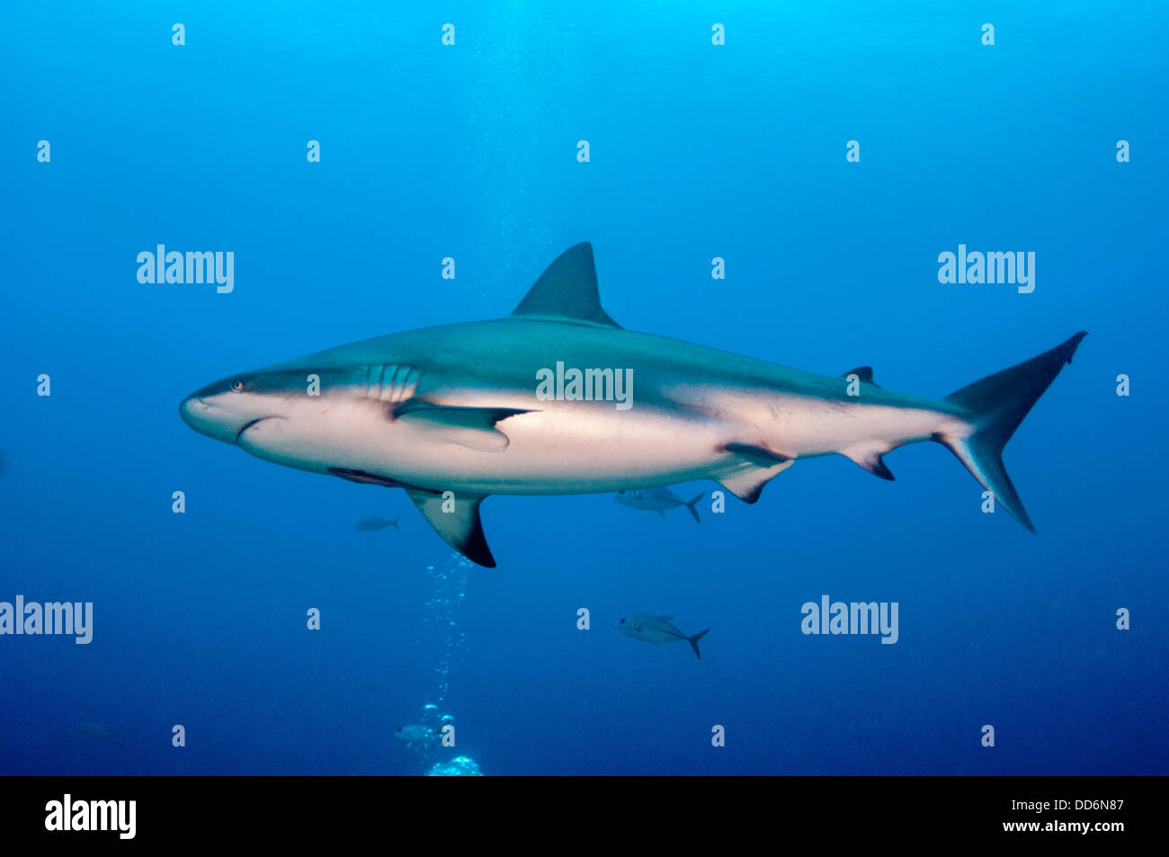 A Reef Shark, Carcharhinus perezii, swims through the water column on a reef near the island of Roatan, Honduras Stock Photo