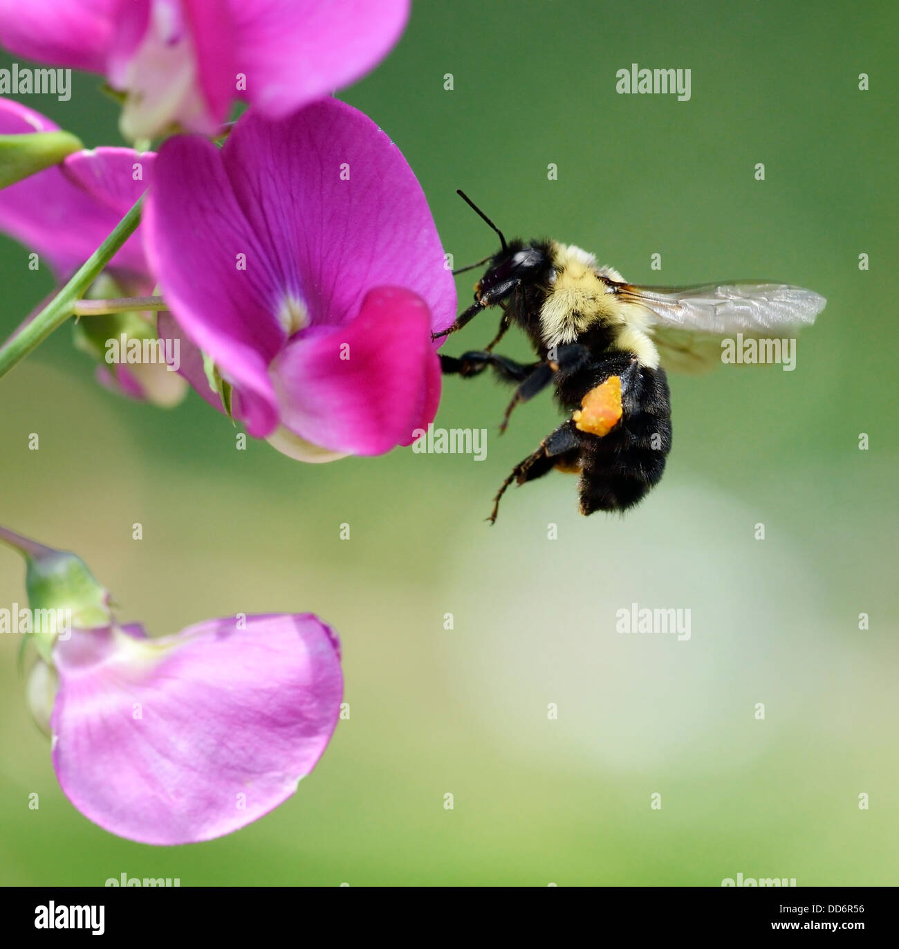 Bumble-Bee sitting On A Flower - Stock Image