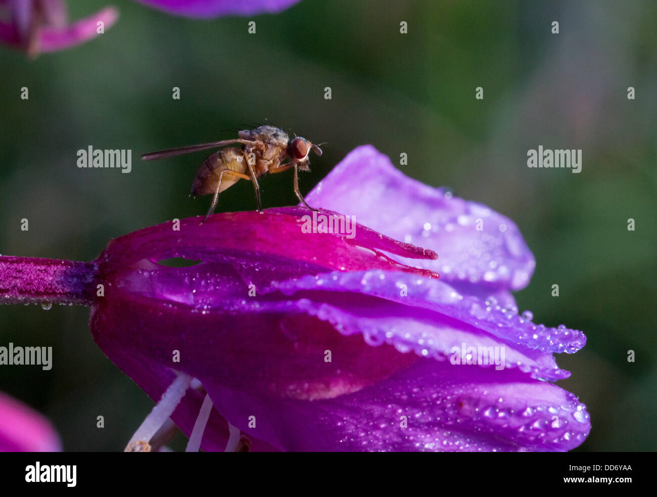 fly on willow-herb blossom, epilobium sp. - Stock Image
