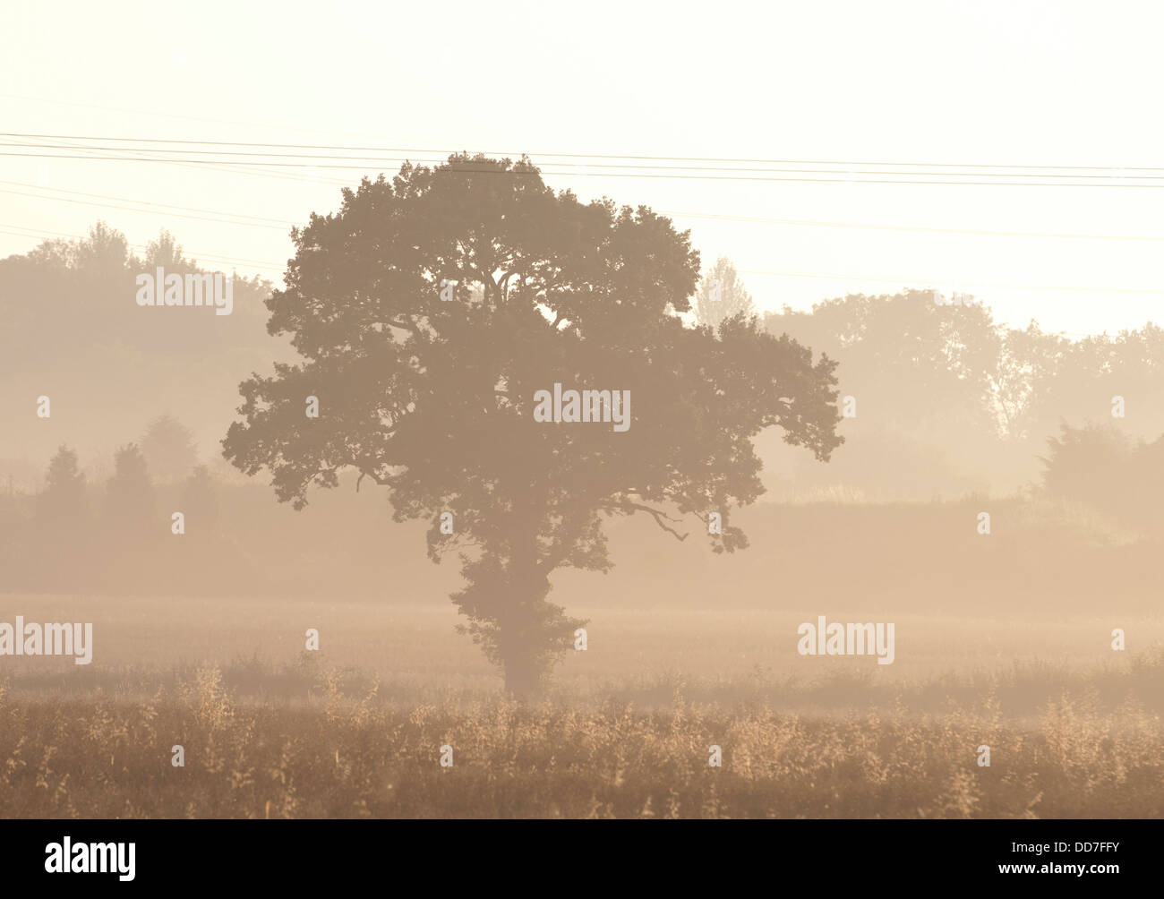 Oak tree at dawn, Warwickshire, UK - Stock Image