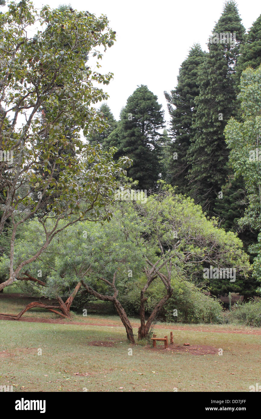 Beautiful evergreen trees in a park in Kenya. - Stock Image