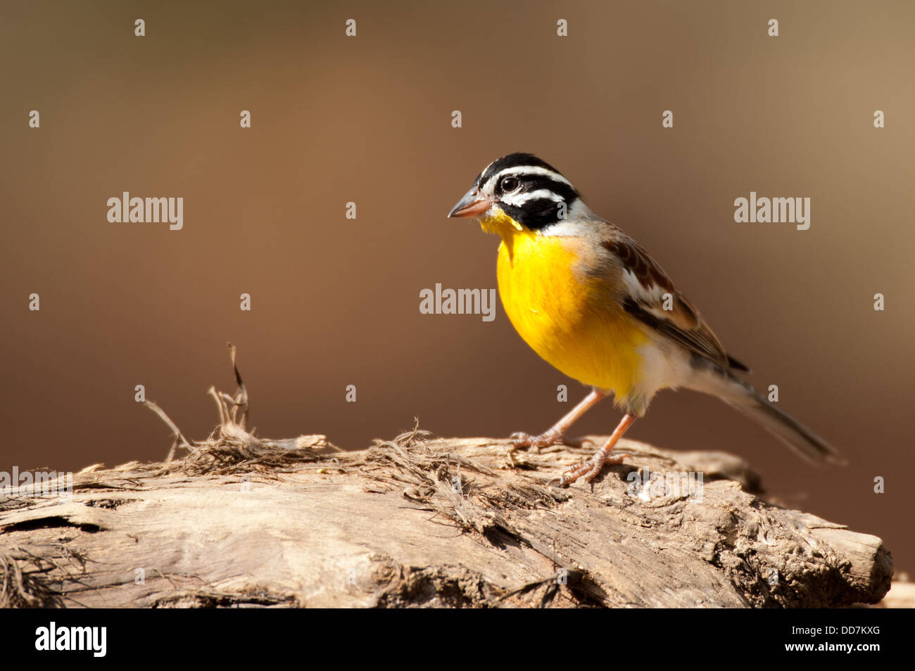 Golden-breasted bunting, Emberiza flaviventris, Mkhuze Game Reserve, iSimangaliso Wetland Park, South Africa - Stock Image
