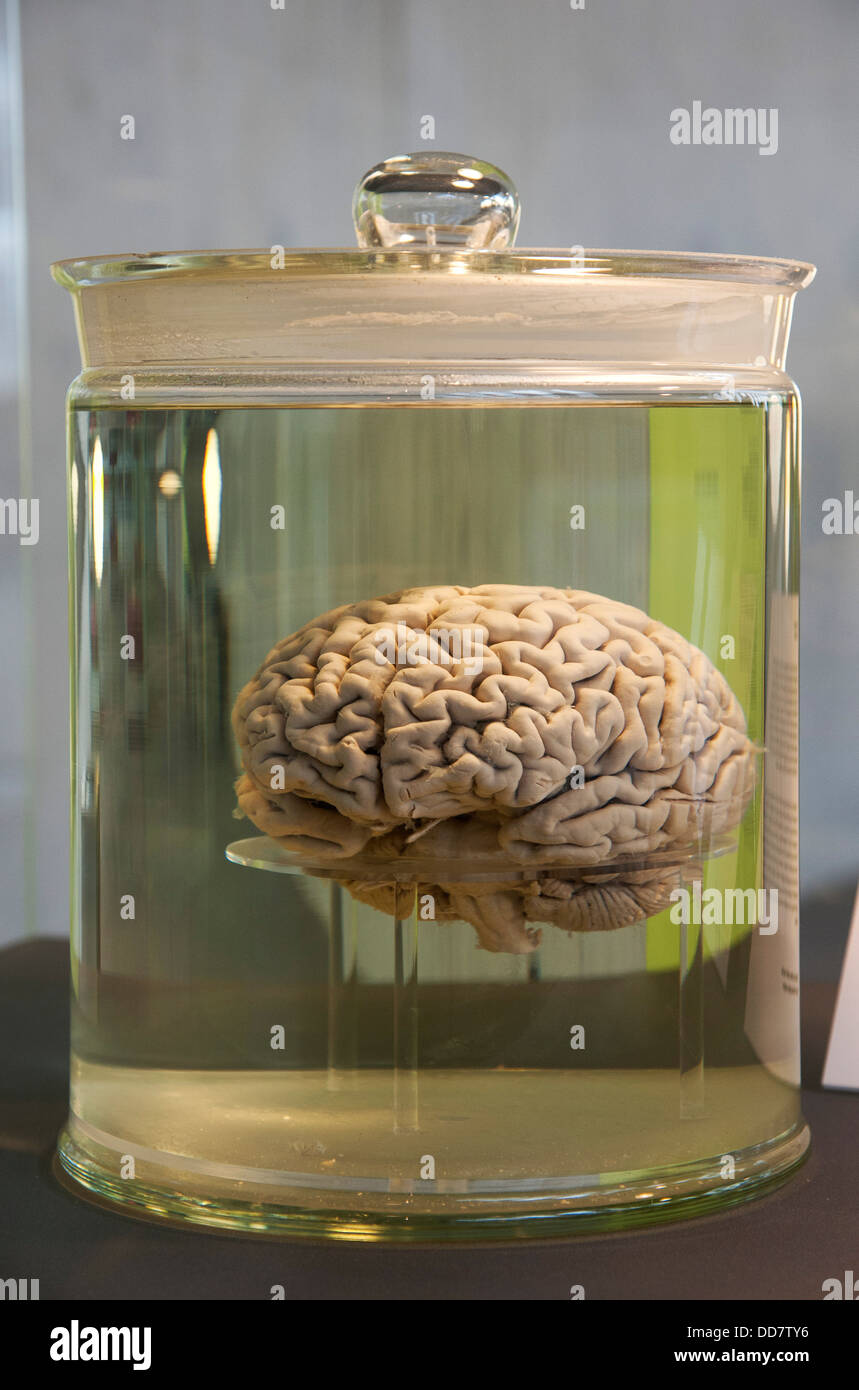 human brain in a Glass container filled with clear fluid - Stock Image
