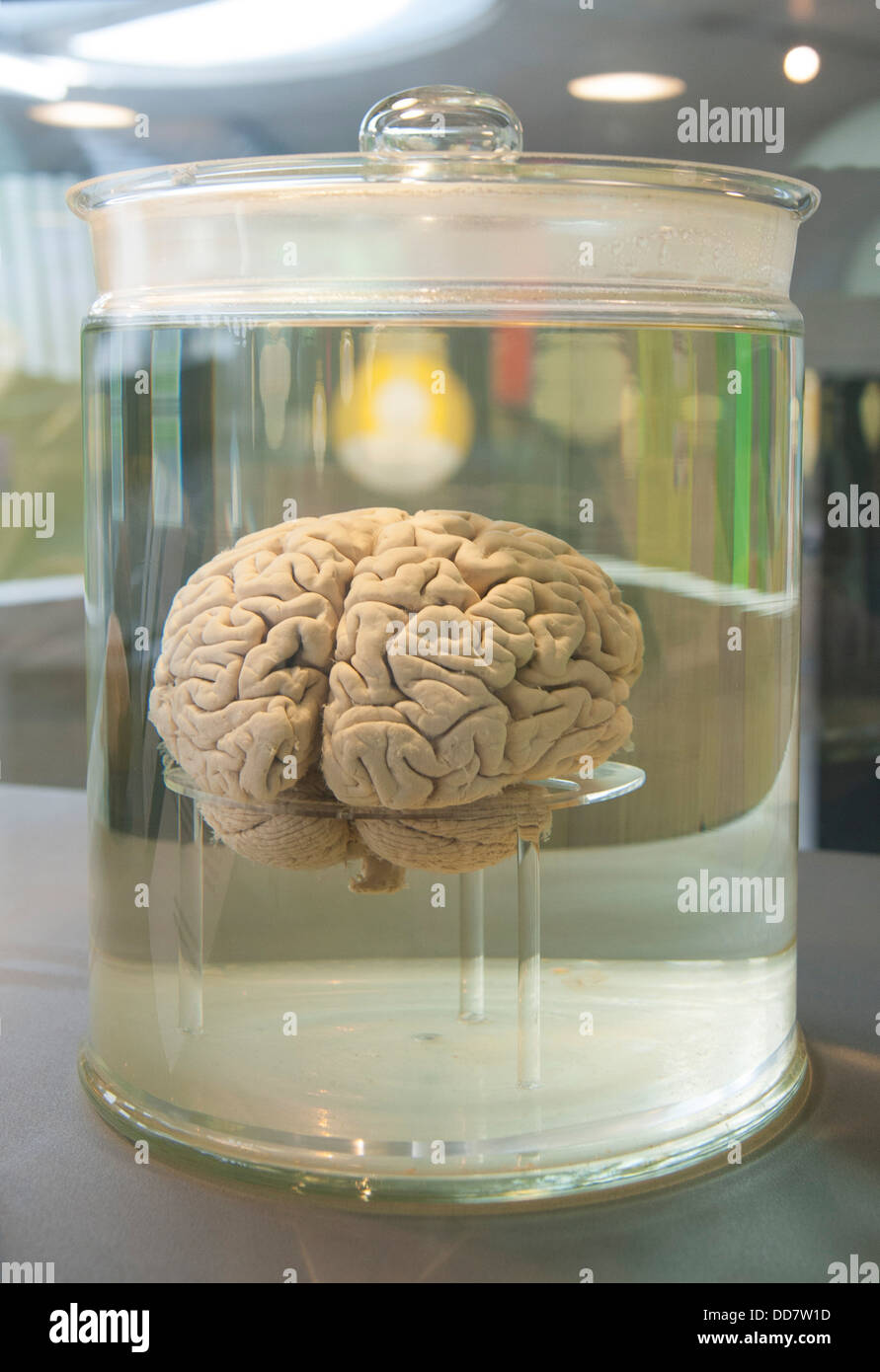 human brain in a Glass container filled with clear fluid Stock Photo
