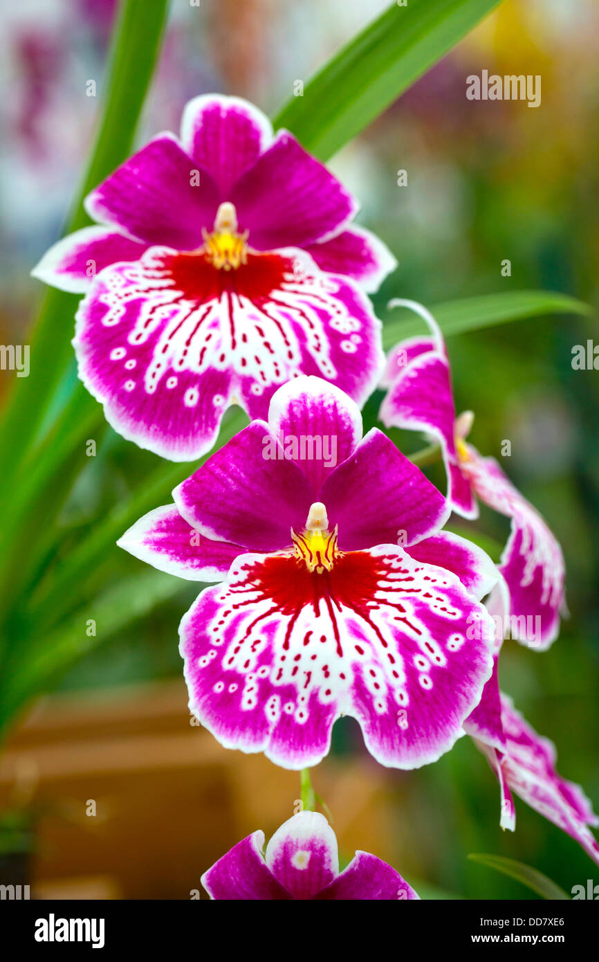 Orchid, Akatsuka Orchid Gradens, Hilo, Island of Hawaii - Stock Image
