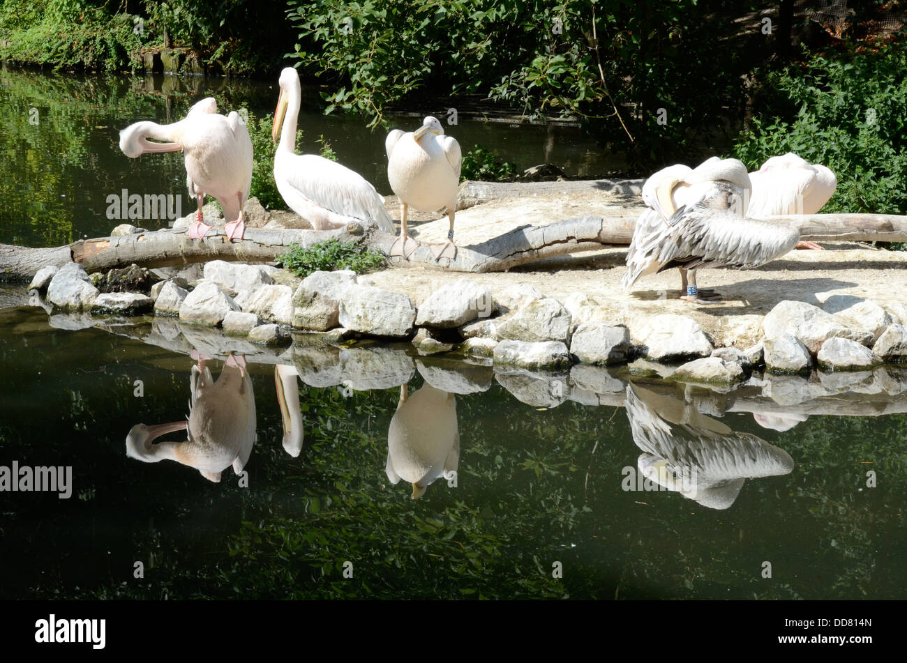Pelicans in the Zoological Park, Lille, France - Stock Image