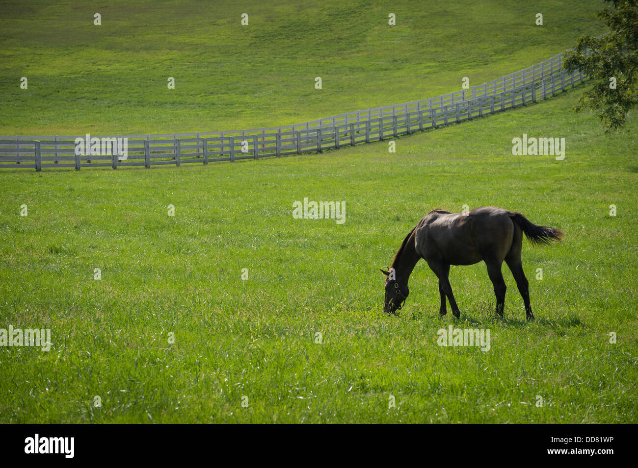 Horse Grazing In Field With White Fence, Lexington Kentucky, USA - Stock Image