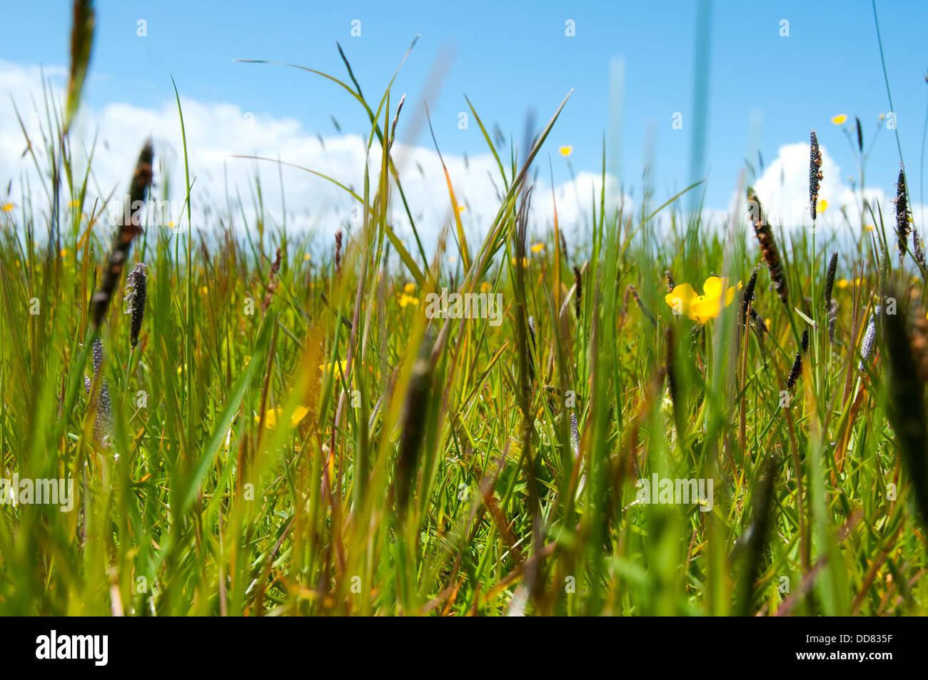 Windmill farm on the Lizard Peninsula, Cornwall. A worms eye view of a meadow grassland vegetated primarily by grass - Stock Image