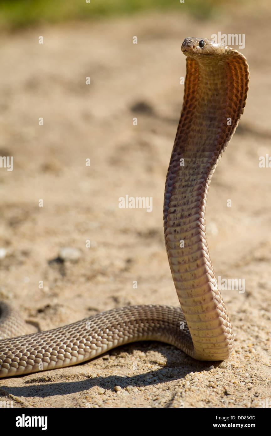Cape cobra, Naja nivea, South Africa - Stock Image