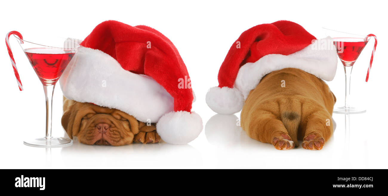 christmas puppy - santa dogue de bordeaux from the front and back with cocktail drink on white background - 4 weeks - Stock Image
