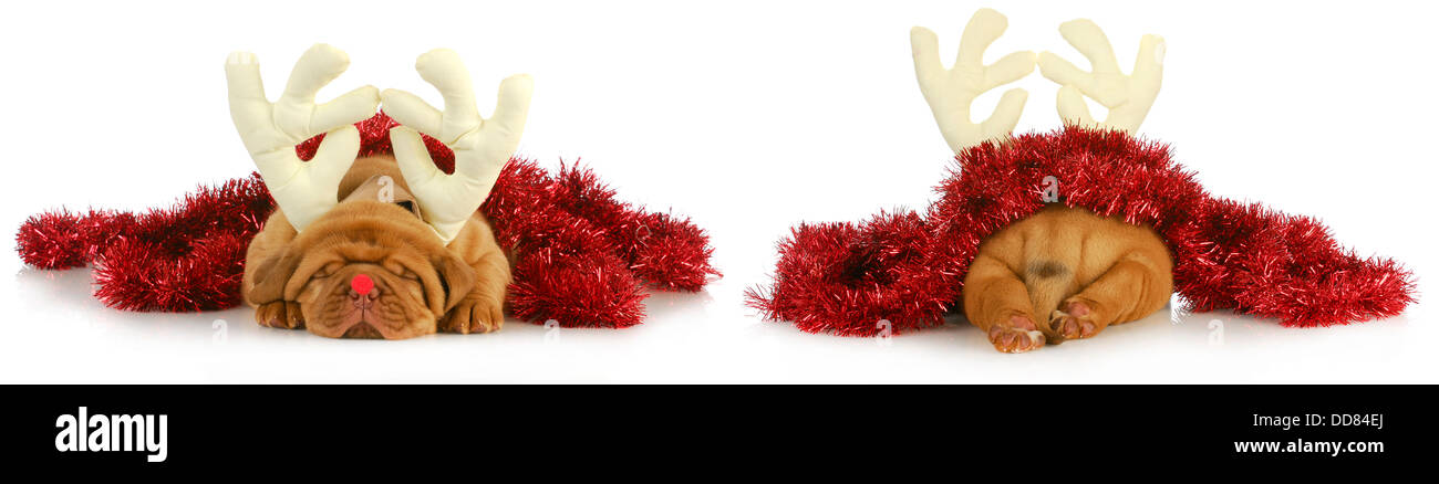puppy rudolph - dogue de bordeaux wearing rudolph the red nosed reindeer costume viewed from the front and back - Stock Image