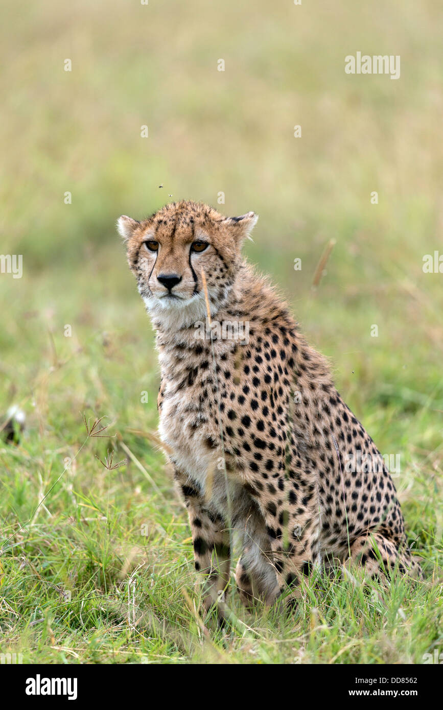 Cheetah cub Acinonyx Jubatus on the watch Masai Mara Kenya Africa - Stock Image