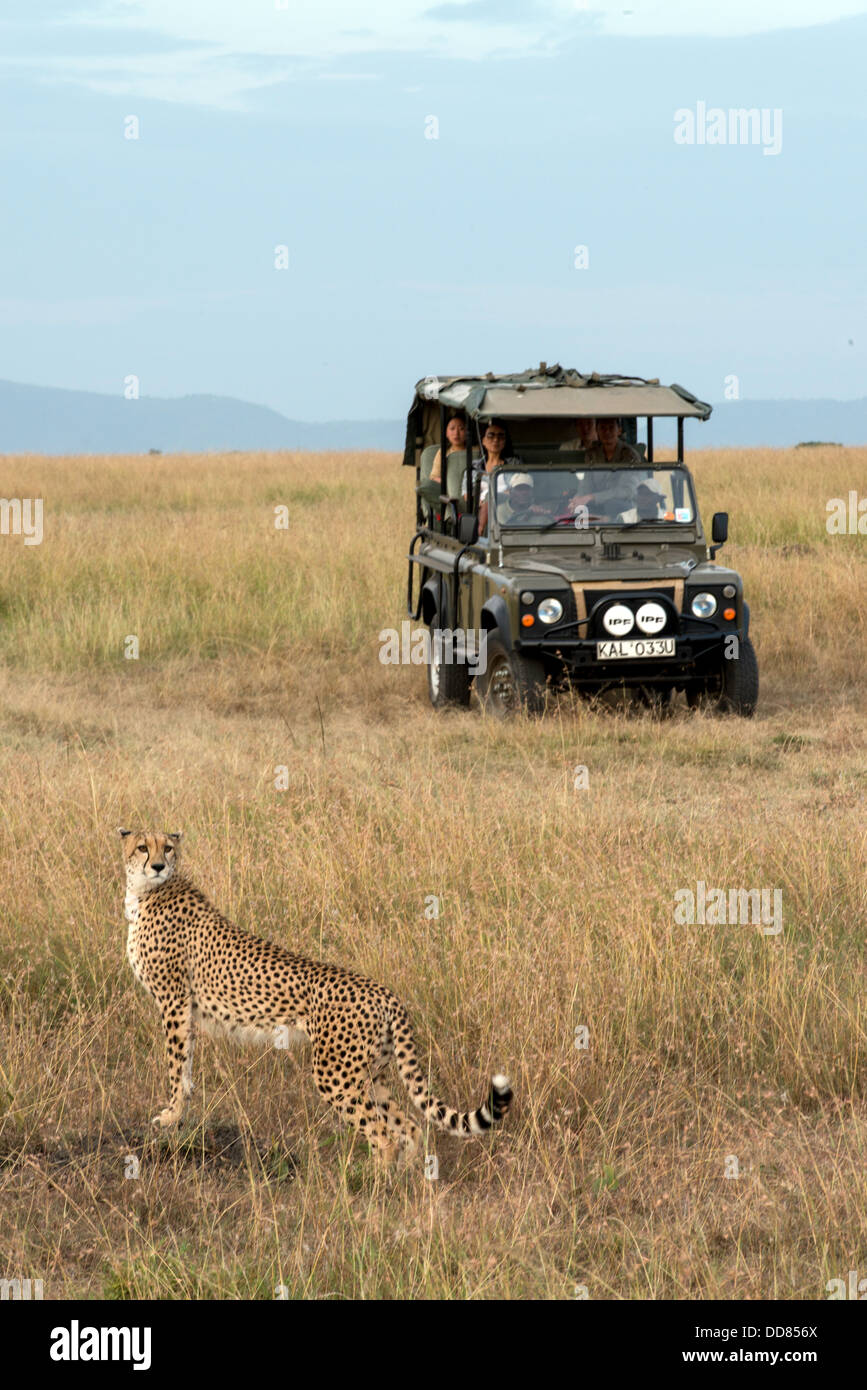 Adult cheetah Acinonyx Jubatus and safari Jeep Masai Mara Kenya Africa - Stock Image