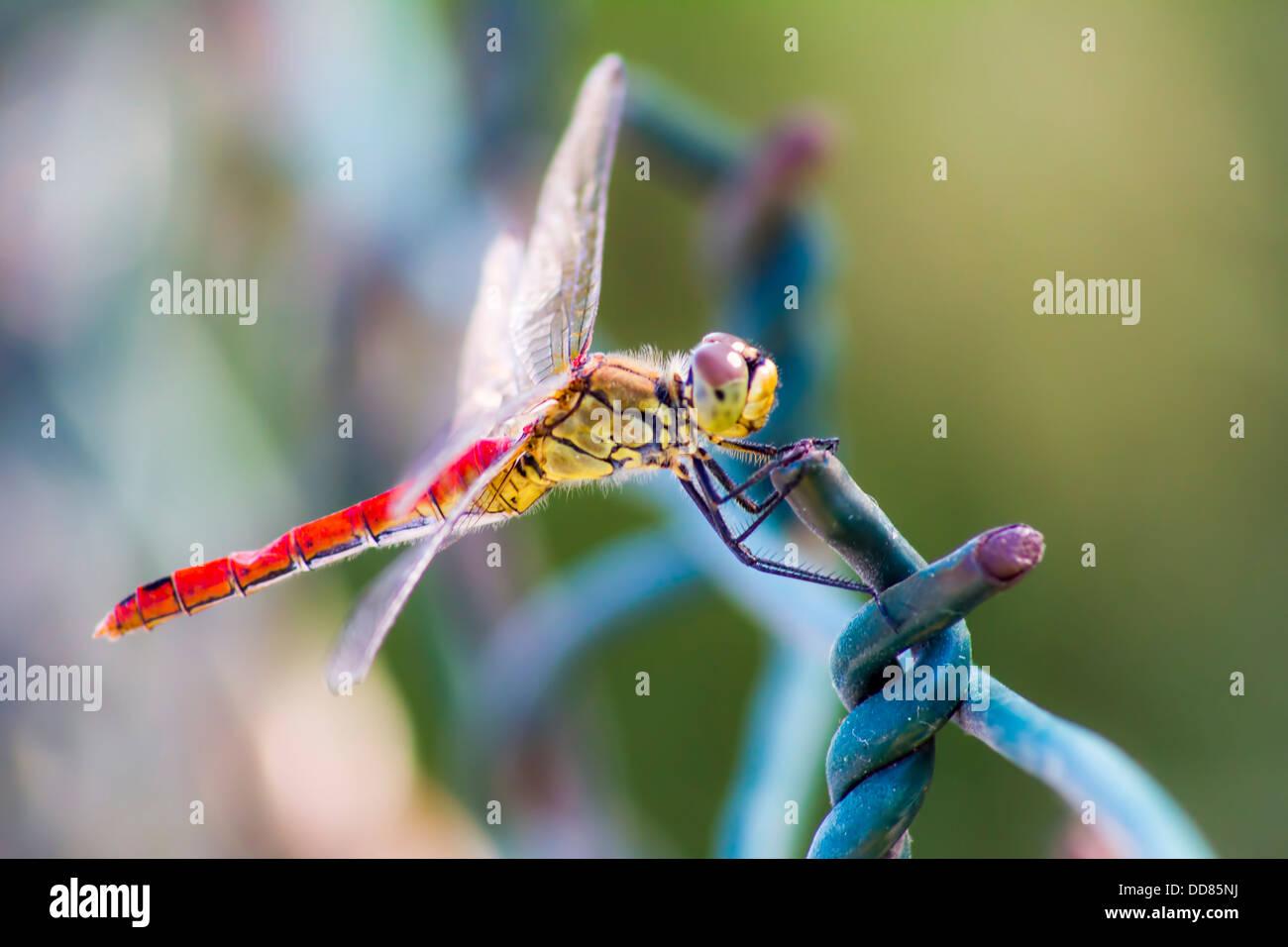 Portrait of a Scarlet Darter (Crocothemis erythraea) Stock Photo