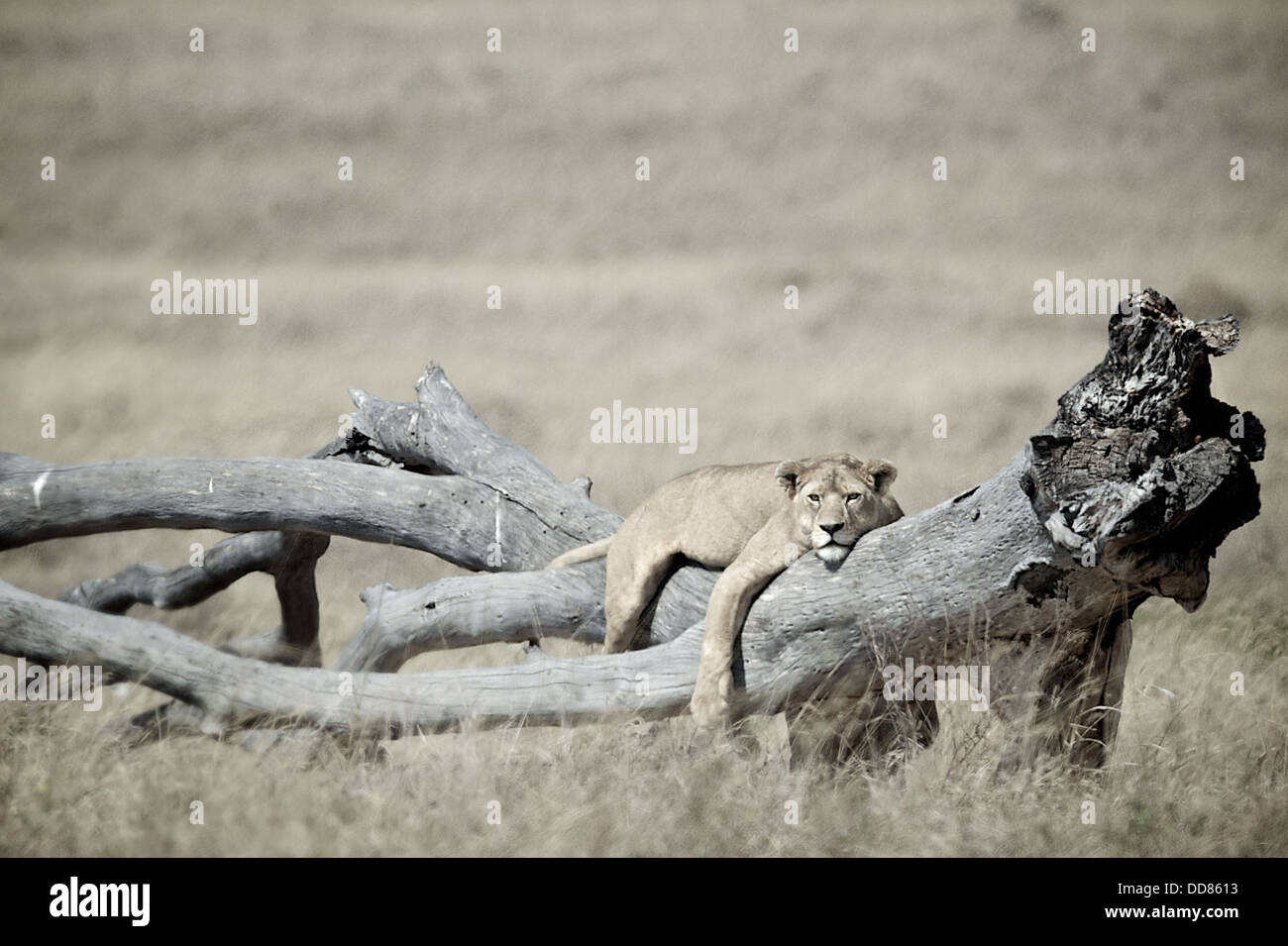 Lion lays on a tree Serengeti . Tanzania. Africa - Stock Image