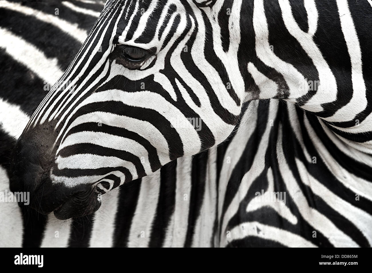 Zebra  turns to scratch its body. Tarangire . Tanzania . Africa - Stock Image