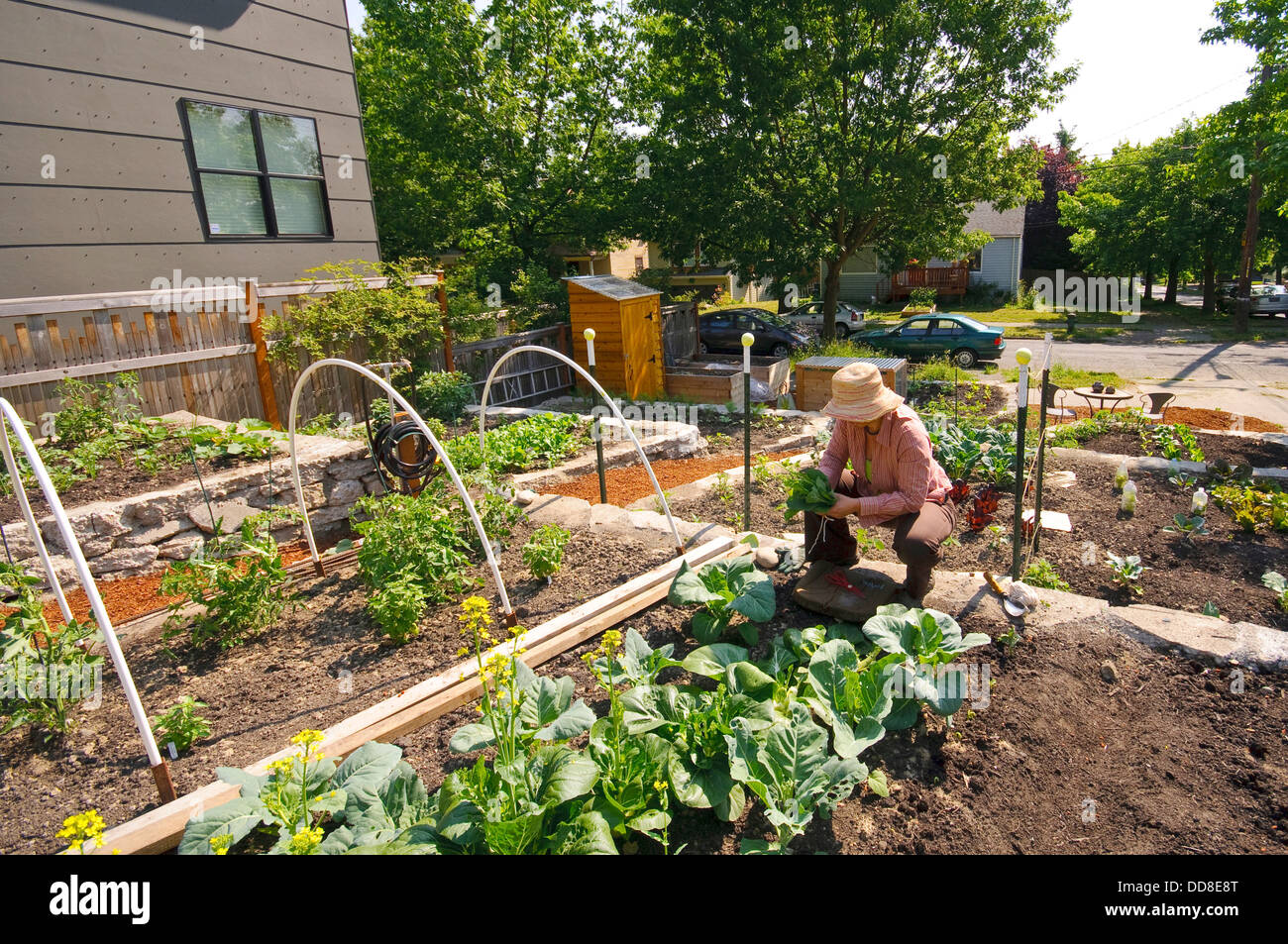 Woman With Hat Working In A Seattle Community Garden (P Patch).