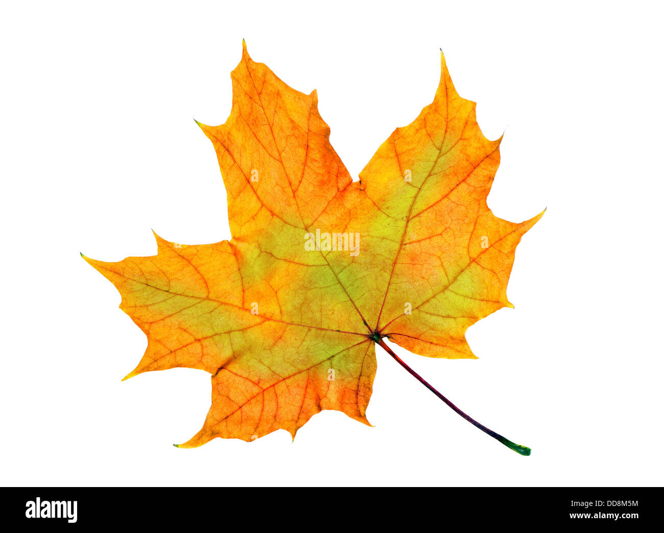 maple leaf isolated over white - Stock Image