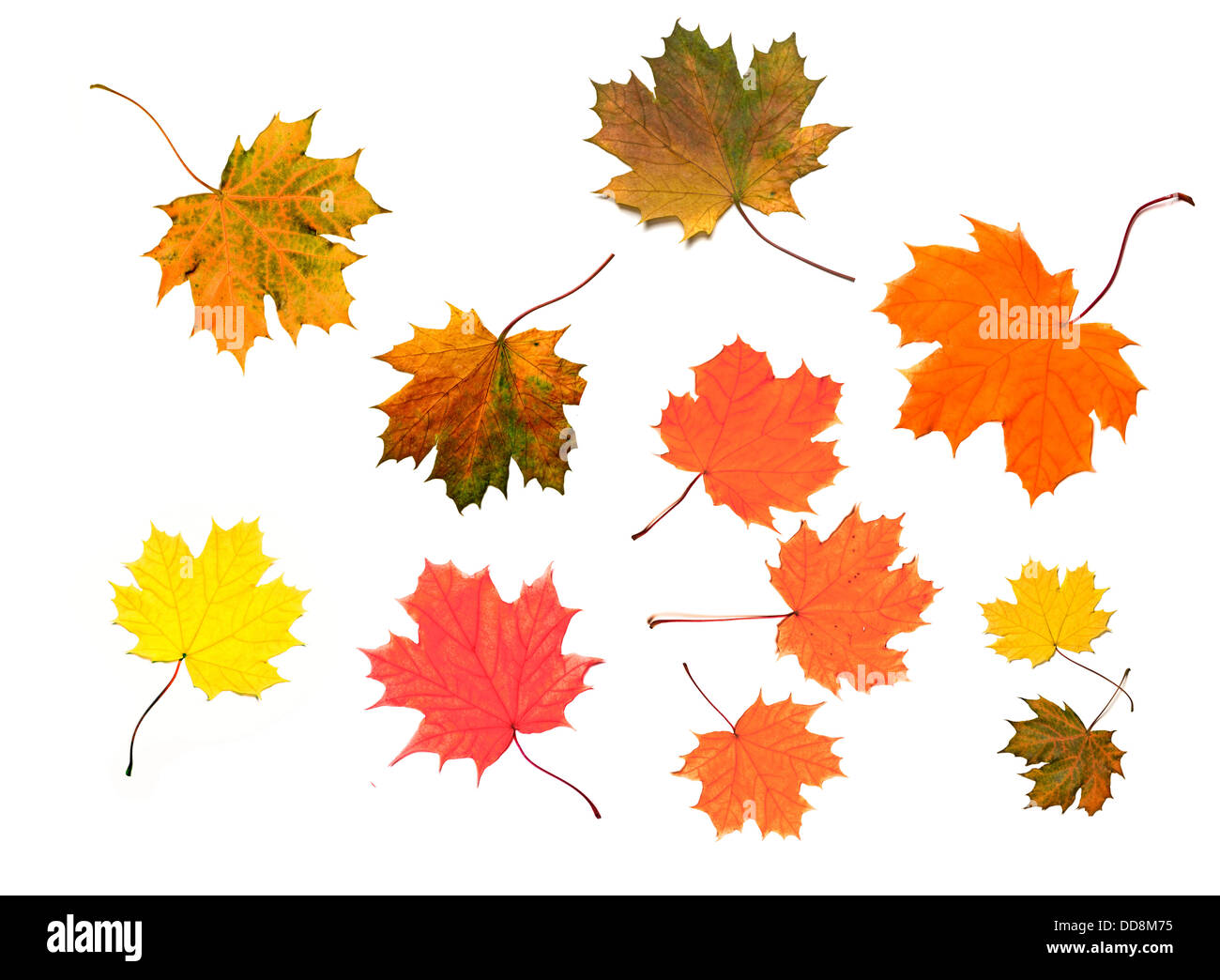 maple leaves isolated over white - Stock Image