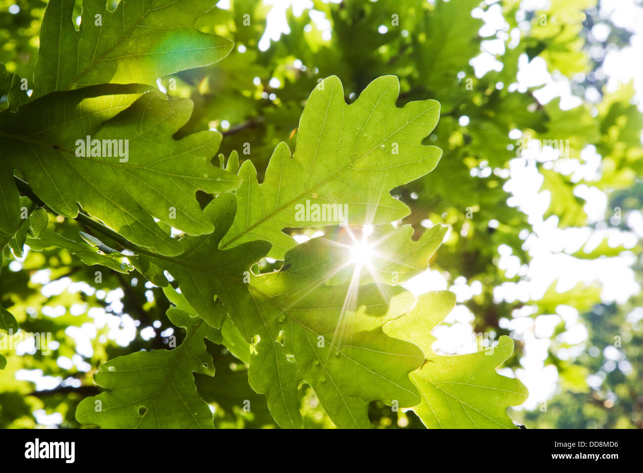 bright sunlight flaring through the leaves of an oak tree - Stock Image