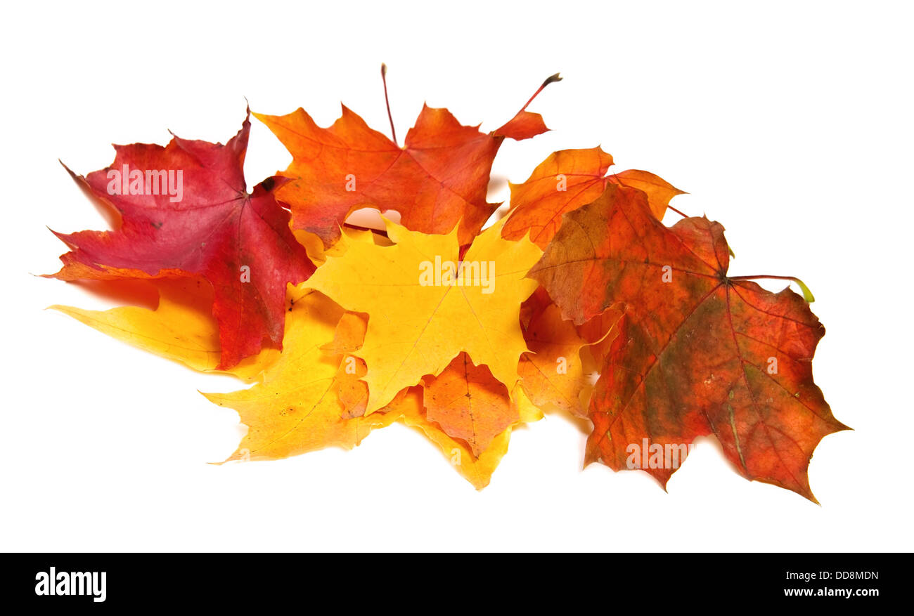 Pile of maple fall colored leaves - Stock Image