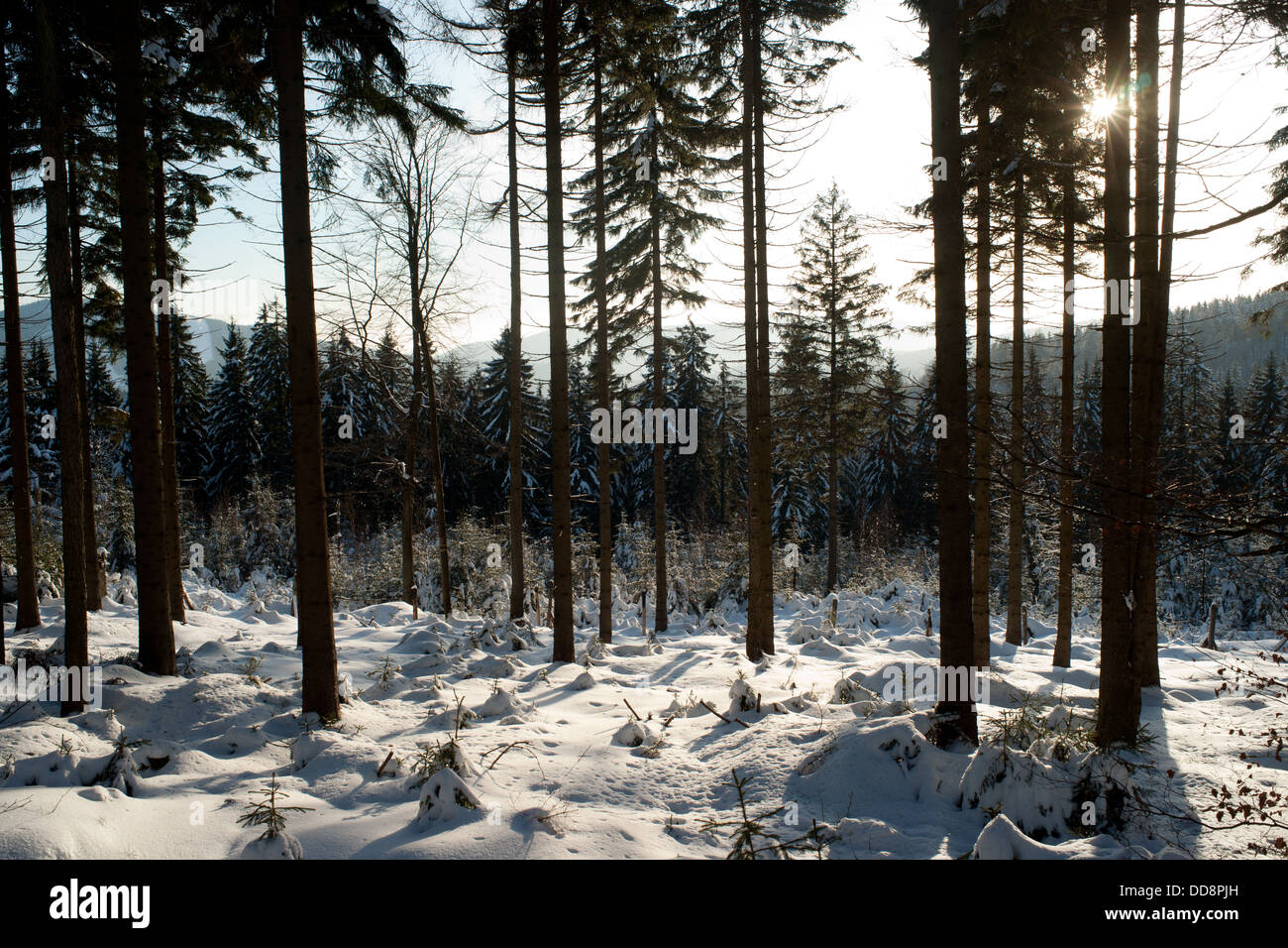 Winter in Karkonosze mountains. Scenery of Jakuszyce cross-country skiing trial. - Stock Image