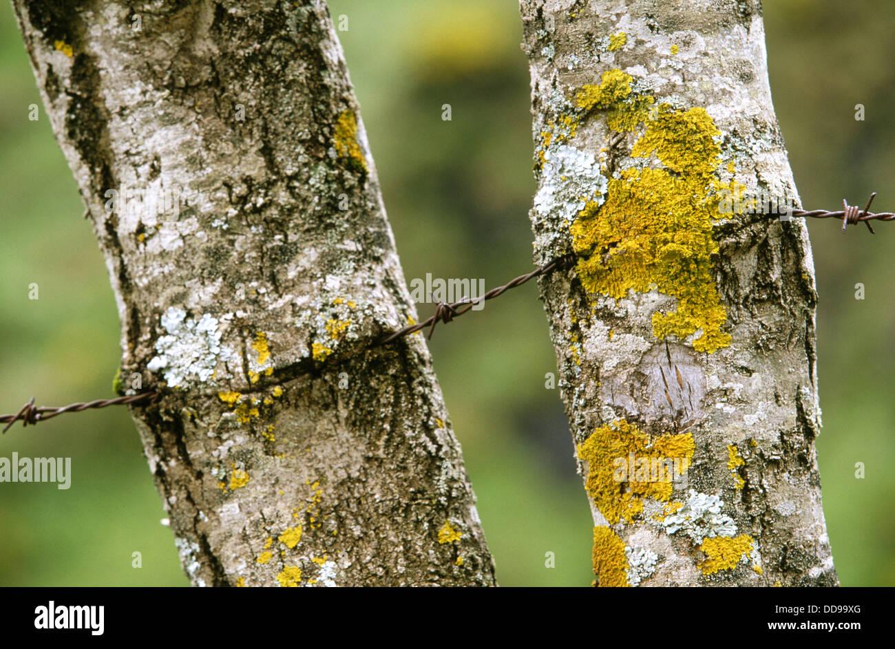 Wire merged with tree trunks. Somiedo Natural Park. Asturias, Spain - Stock Image