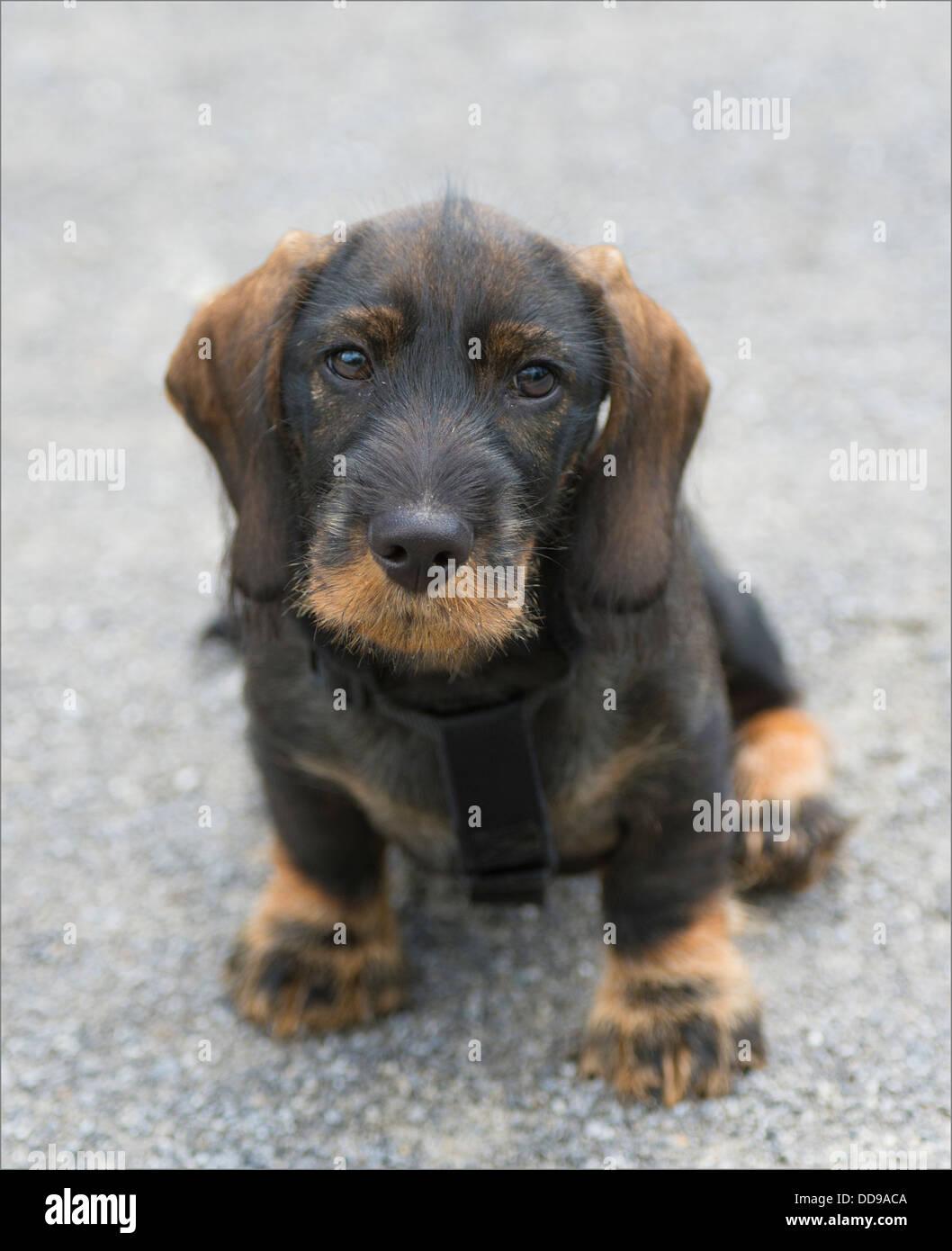 Dachshund 12 Week Old Puppy Sitting - Stock Image
