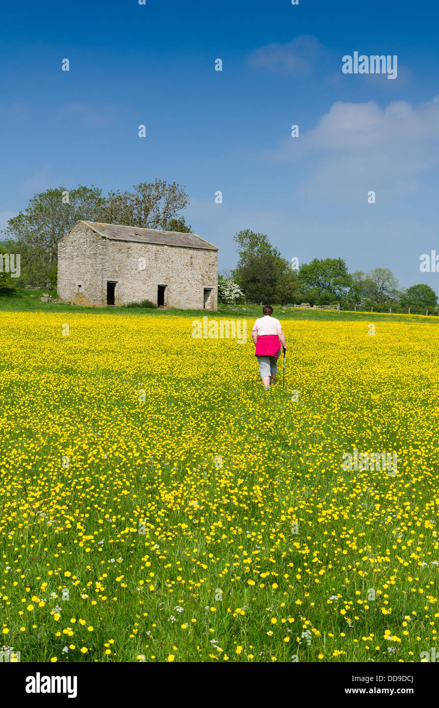 Walker in the yellow hay meadows in Wensleydale - Stock Image