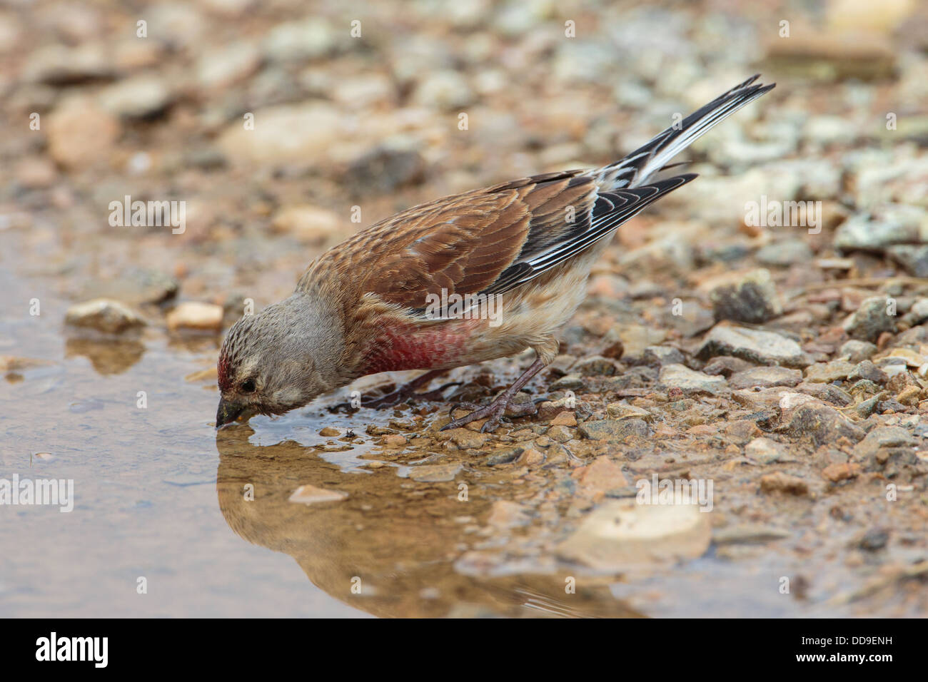 Male Common Linnet, Carduelis cannabina, drinking from puddle Stock Photo