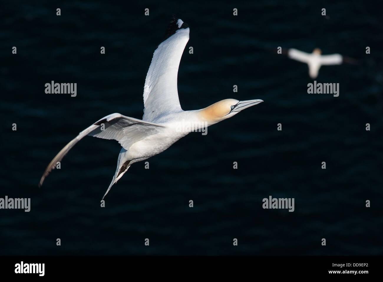 Northern Gannet, Morus bassanus, in flight - Stock Image