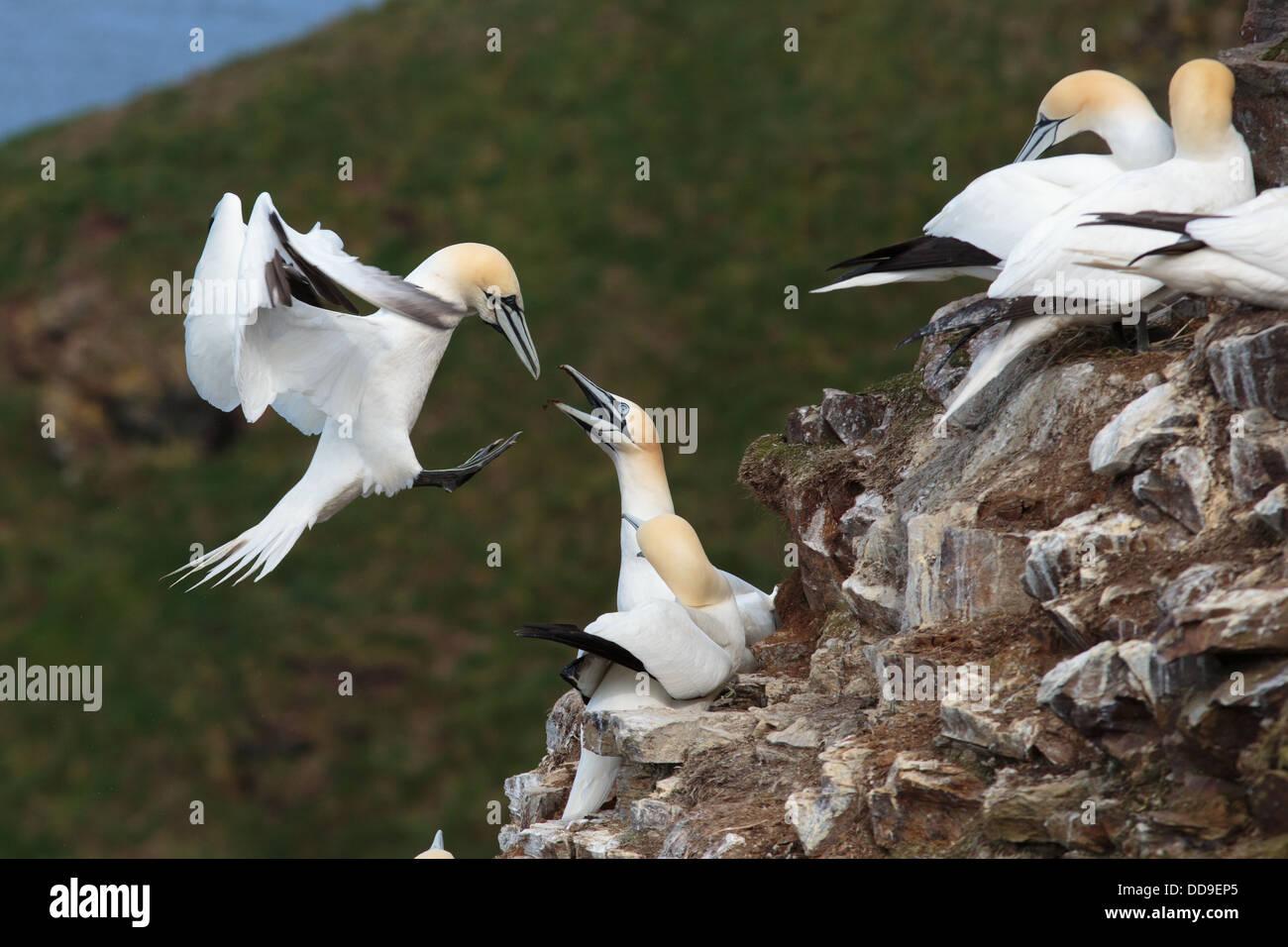 Northern Gannet, Morus bassanus, returning to breeding colony - Stock Image