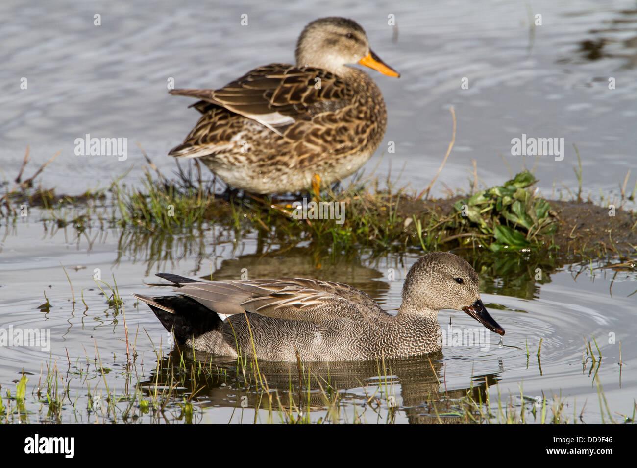 Gadwall pair, Anas strepera - Stock Image