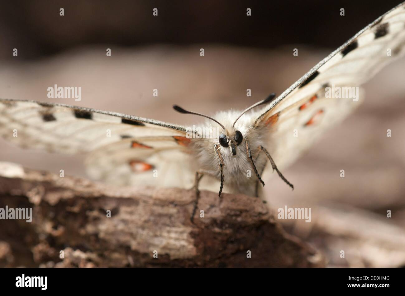 Parnassius apollo is in Southern Europe confined to high mountain areas mostly in the Pyrenees where it was confined - Stock Image