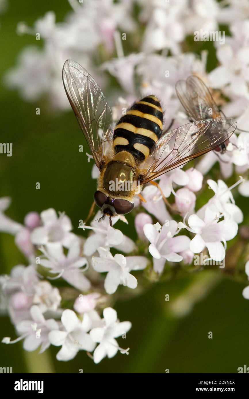 hoverfly, hover fly, syrphid fly, flower fly, Behaarte Schwebfliege, Blütenbesuch, Nektarsuche, Bestäubung, - Stock Image